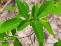 Яркое ое-зелен яблоко suga выходит в сезон дождей, обильный рост зеленых листьев и ветви стоковая фотография
