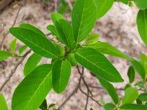 Яркое ое-зелен яблоко suga выходит в сезон дождей, обильный рост зеленых листьев и ветви стоковое изображение