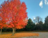 Яркое оранжевое дерево падения с падать листьев стоковая фотография rf