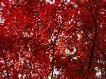 Яркое падение Central Park осени листвы красного клена Стоковое Изображение