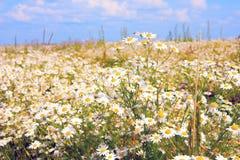 Яркое поле стоцвета на солнечный летний день стоковое фото