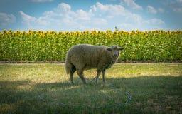 Яркое поле лета и молодая овца Стоковое Фото
