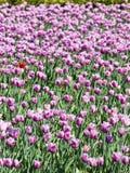 Яркое розовое и фиолетовое цветене тюльпанов Стоковые Изображения