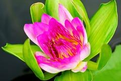 Яркое розовое Waterlily зацветая в пруде стоковое фото