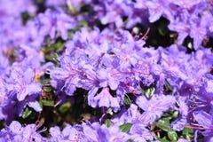Яркое светлое - пурпурные голубые цветки рододендрона цветут цветене стоковое изображение rf
