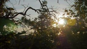 Яркое солнце сияющее через ветви клена и спруса деревьев во времени вечера видеоматериал