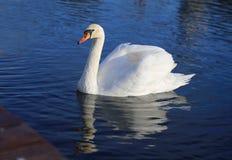 Яркое фото макроса красивого белого лебедя стоковое изображение rf