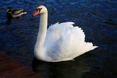 Яркое фото макроса красивого белого лебедя стоковое изображение