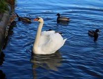 Яркое фото макроса красивого белого лебедя стоковые изображения rf