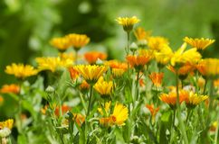 Яркое цветение весны цветков Calendula Стоковое фото RF