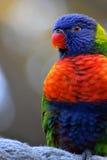 яркое lori стоковое изображение