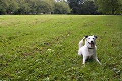 яркой белизна eyed собакой Стоковое фото RF