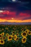 Яркость солнцецвета Стоковая Фотография RF