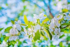 Ярко взгляд на цветении instagram вишневого дерева Стоковая Фотография RF