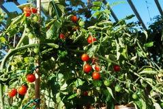 ярко вырастите красные лозы томатов стоковая фотография