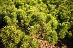 Ярко зеленые шиповатые ветви сосны Стоковые Изображения