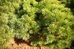 Ярко зеленые шиповатые ветви сосны Стоковое Фото