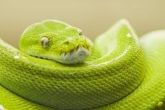 ярко - зеленый вал питона Стоковая Фотография RF