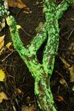 ярко - зеленый лишайник Стоковая Фотография RF