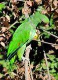 Ярко - зеленый попыгай Стоковое Изображение RF