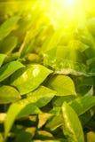 ярко - зеленый цвет выходит солнце стоковая фотография rf
