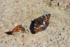 Ярко и красивейше Бабочка Lentochnik poplary стоковая фотография rf