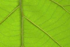 Ярко крупный план детали текстуры лист teak Стоковое Изображение RF