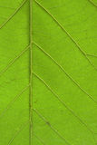 Ярко крупный план лист teak Стоковые Фото