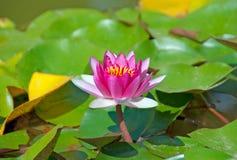ярк вода лилии розовая Стоковые Фотографии RF