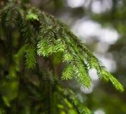 Ярк зеленые шиповатые ветви шерст-вала стоковая фотография rf