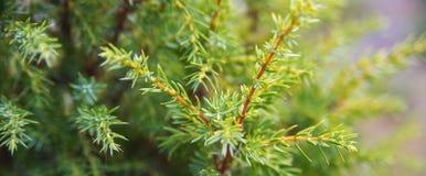 Ярк зеленые шиповатые ветви шерст-вала или сосенки стоковая фотография rf
