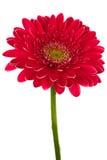 ярк красный цвет цветка стоковая фотография