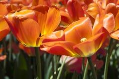 Беззастенчивые тюльпаны алы цвета Стоковая Фотография