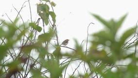 Ярк-покрытая птица cisticola на ветви видеоматериал