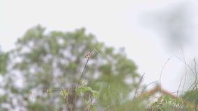 Ярк-покрытое cisticola на всходе дерева видеоматериал