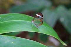 Ясная бабочка Стоковые Изображения RF