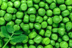 Ясность и взгляд диеза близкий поднимающий вверх свежей предпосылки зеленых горохов отделывают поверхность с молодыми лист зелены стоковое фото