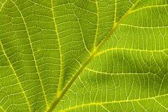 Ясные, зеленые листья грецкого ореха Стоковое Изображение