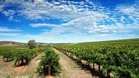 ясный виноградник неба Стоковые Изображения