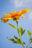 ясный мексиканский солнцецвет неба Стоковые Фото