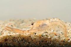 Ясный Crayfish реки стоковая фотография rf