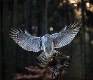 Ястреб-тетеревятник летящей птицы с запачканным оранжевым лесом дерева осени Стоковая Фотография RF