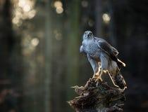 Ястреб-тетеревятник летящей птицы с запачканным оранжевым лесом дерева осени Стоковые Фотографии RF