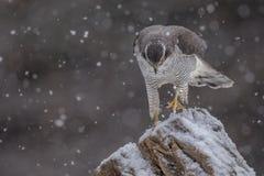 Ястреб-тетеревятник идя через снег стоковые фото