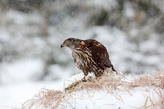Ястреб-тетеревятник хищной птицы Стоковые Фотографии RF