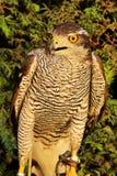 Ястреб-тетеревятник (gentilis настоящего ястреба) Стоковое Изображение