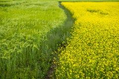 ячмень гористой местности и цветок рапса Стоковая Фотография RF