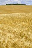 ячмень золотистый Стоковая Фотография