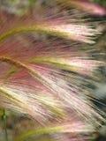 Ячмень лисохвоста Стоковые Фото