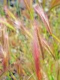 Ячмень лисохвоста Стоковая Фотография